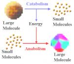 Анаболизм (биологический синтез)