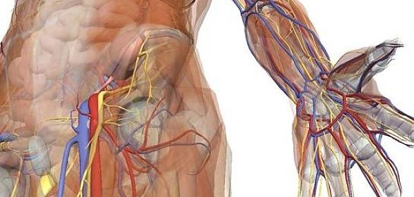 Адаптация организма спортсмена. Состояние систем организма во время физических нагрузок